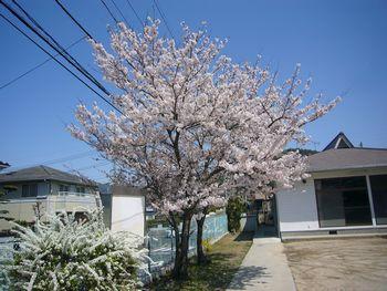 集会所の桜2013.4.3.jpg